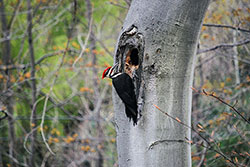 Woodpecker - Click to Enlarge, close window when done